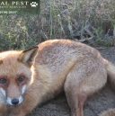 male fox.jpg