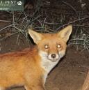 perth metro fox (003).jpg
