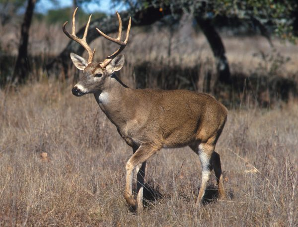 Controlling feral deer populations in WA