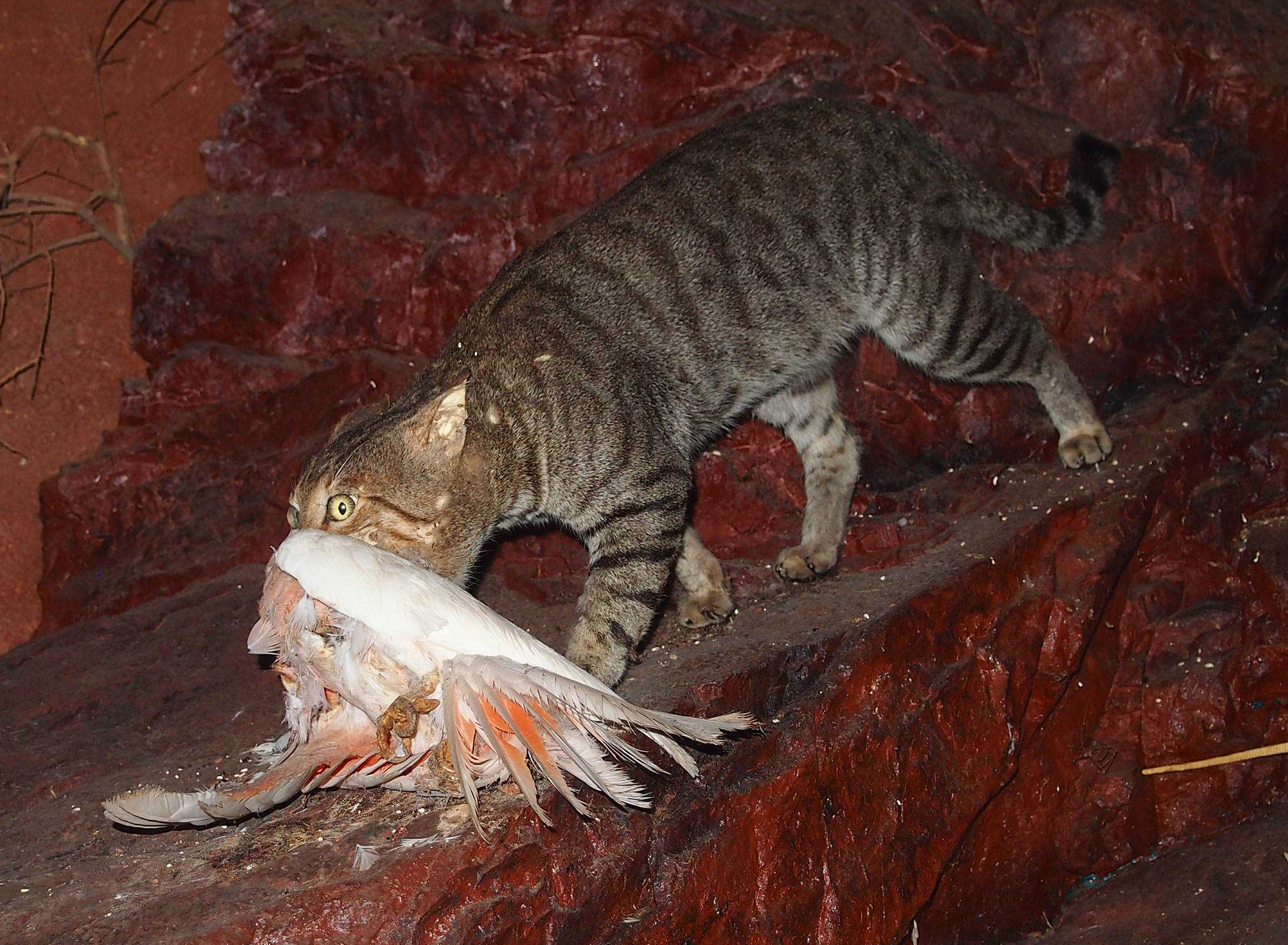 Feral Cats Released In Australia
