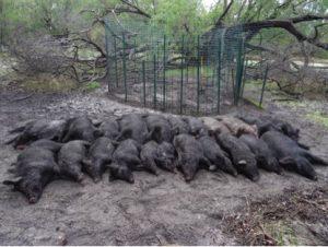 wild swine infestation